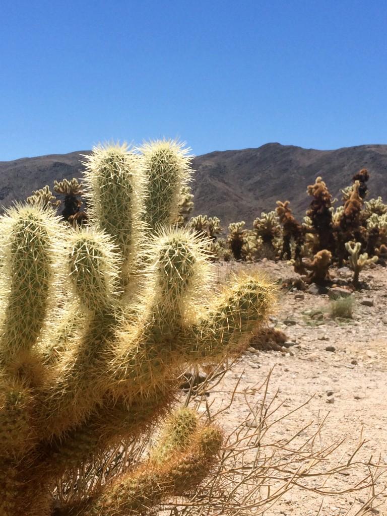 joshua-tree-park-cholla-cactus-4