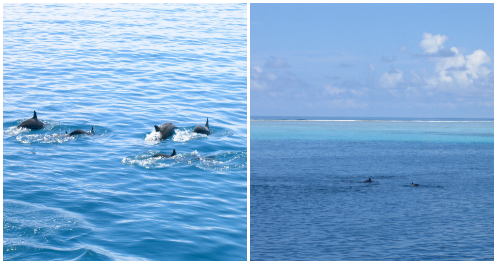 Dauphins - île Velavaru aux Maldives