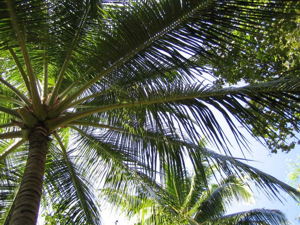 palmier - Velavaru aux Maldives