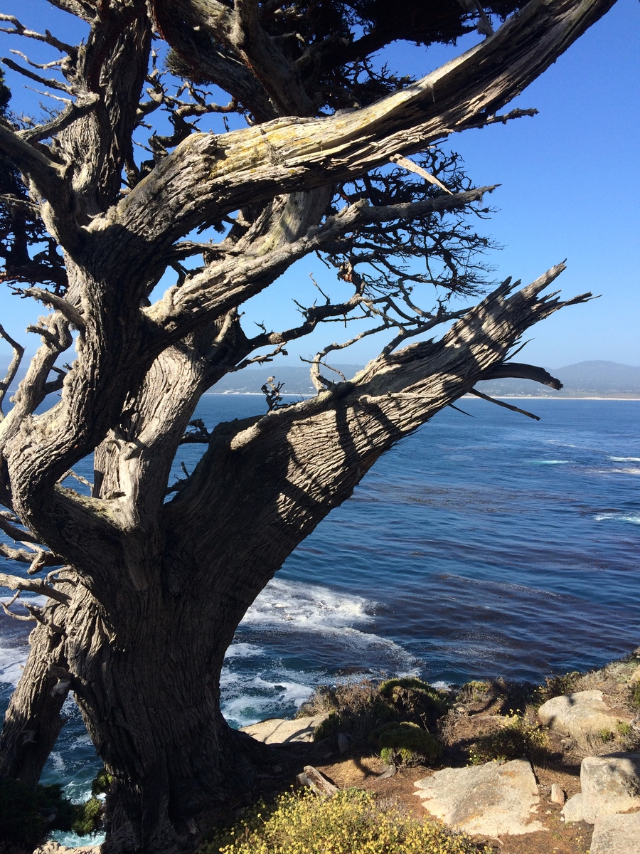 la-vie-en-rose-flamant-point-lobos-cypres-californien