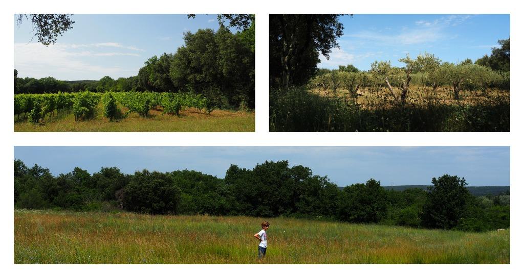 Vignes et oliviers près du Pont du Gard