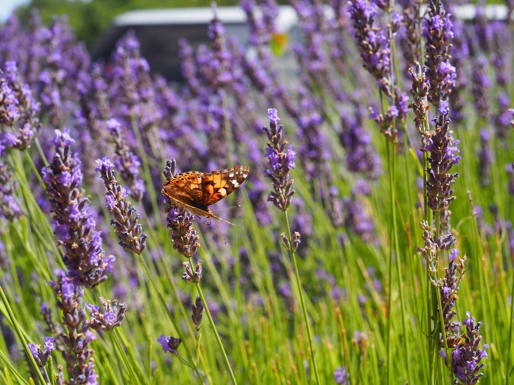 Lavande et papillon près du Pont du Gard