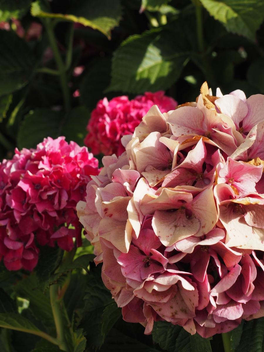 Hortensias et jardin à Porticcio
