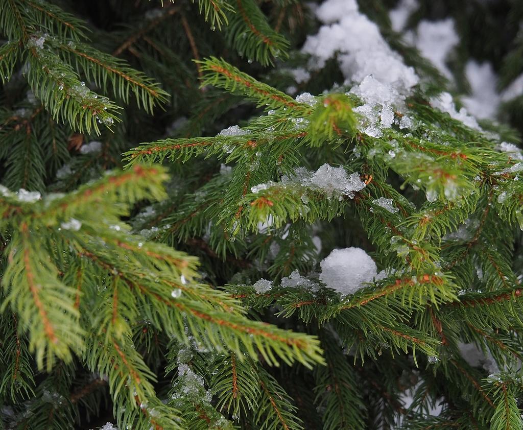 Megève en hiver, sapin