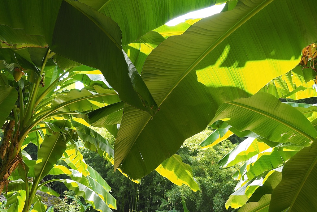 La Bambouseraie à Anduze, feuilles de bananiers