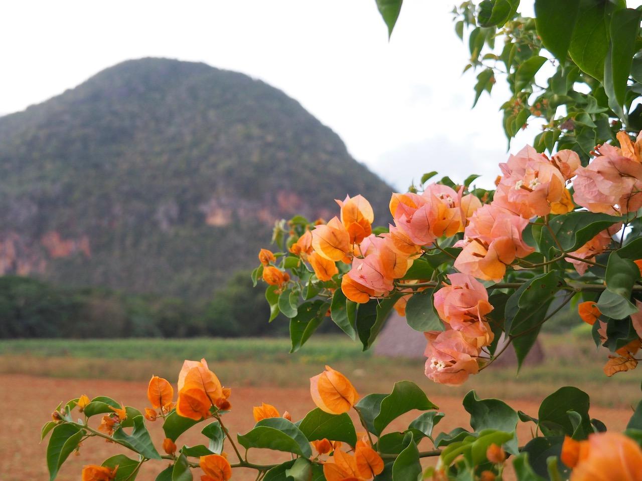 3 jours à Viñales (et au milieu des Mogotes)... une parenthèse hors du temps - vue fleurie sur les Mogotes